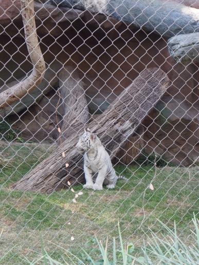 Attraktion, Touristenattraktion, Sehenswürdigkeit, weißer Tiger, Tigerkind, weiß, zahm, Siegfried und Roy, Hidden Garden