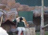 Attraktion, Touristenattraktion, Sehenswürdigkeit, Las Vegas, weiße Tiger, Tigerbaby, Secret Garden, Roy, zahm