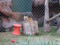 Attraktion, Touristenattraktion, Sehenswürdigkeit, junger Tiger, kleiner Tiger, zahmer Tiger, verspielter Tiger
