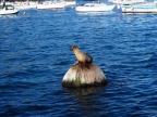 Seehund, Seelöwe, Hafen, Monterey Bay