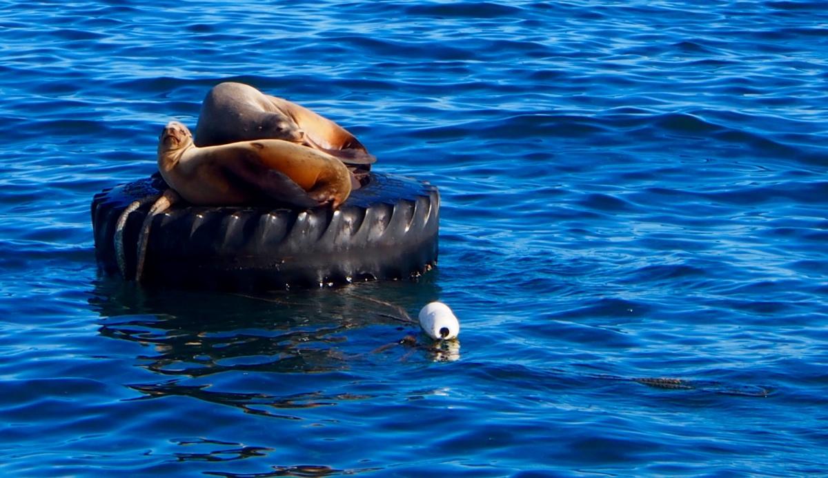 Seehunde, faul, Monterey