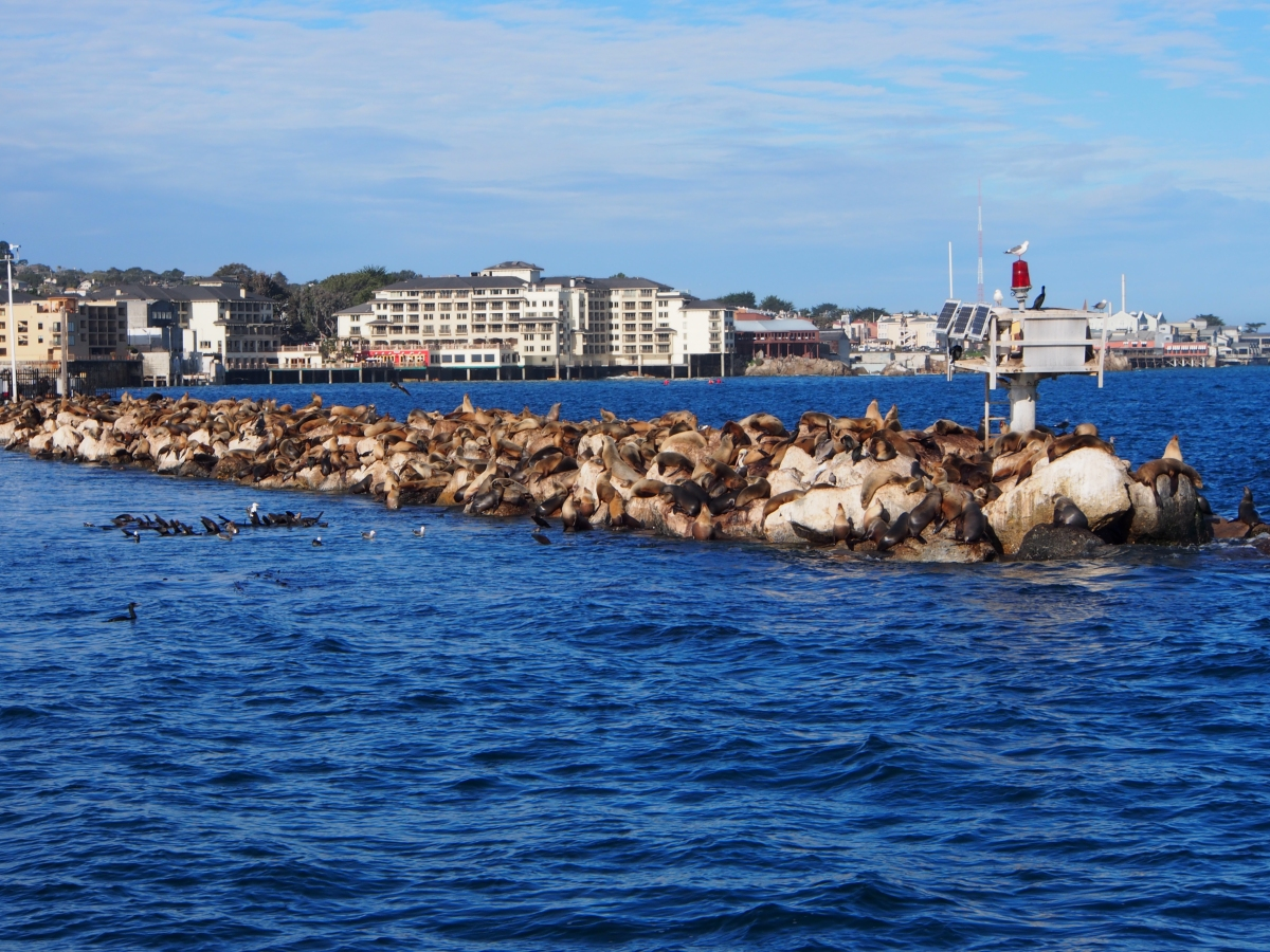 Seelöwen, Kalifornien, Monterey Bay, Seehunde, Pier