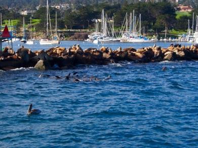 Seelöwen, Seehunde, Kalifornien, Monterey Bay