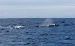 Grauwal, Kalifornien, Greywhale, California, Monterey