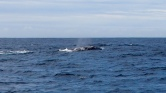 Grauwal, Wal, Wal-Tour, Whale Watching Kalifornien