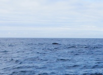 Grauwal Rücken Kalifornien