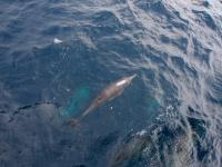 Delfin, Delphin, Monterey Bay, Kalifornien