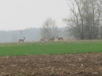 Polen, Rundreise, Natur, Rehe