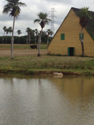 Glückliche Tiere, Tierhaltung, Kuba, ökologisch