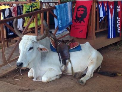 Ochsen, reiten, Kuba, Valle de Viñales