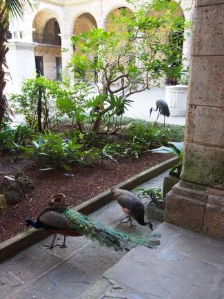 Pfaue, Havanna, Kuba, Pfau, Plaza de Armas