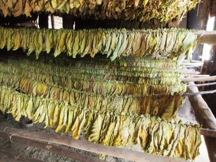 Tabak, trocknung, trocknen, Blätter, Tabakblätter, Herstellung, Kuba