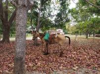 Pferde, Kuba, Trinidad