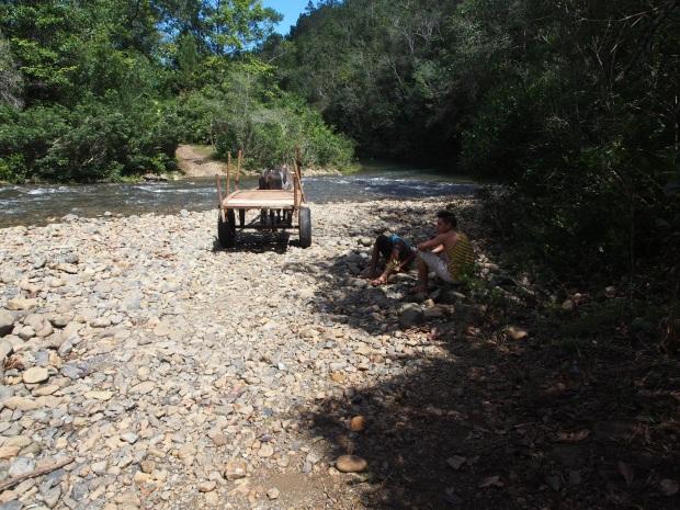 Ochse, Ochsenkarre, Fluß, Überquerung, Humboldt, Nationalpark, Kuba