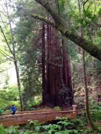 Küstenmammutbaum, Sequoia sempervirens, Riesenmammutbaum, Muir Woods National Monument, Muir, John, Woods, Wälder, Mammutbäume, Riesenbäume, Kalifornien