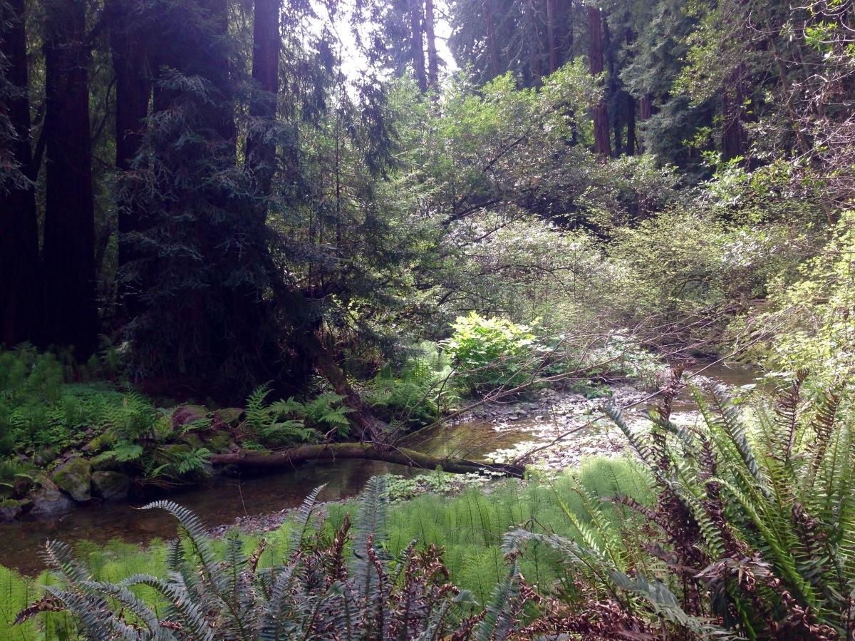 Muir Woods National Monument, Muir, John, Woods, Wälder, Mammutbäume, Riesenbäume, Kalifornien, USA, Redwoods, Nordkalifornien