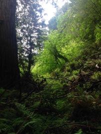 Muir Woods National Monument, Muir, John, Woods, Wälder, Mammutbäume, Riesenbäume, Kalifornien, alte Bäume, Wald, Nordkalifornien, Redwoods