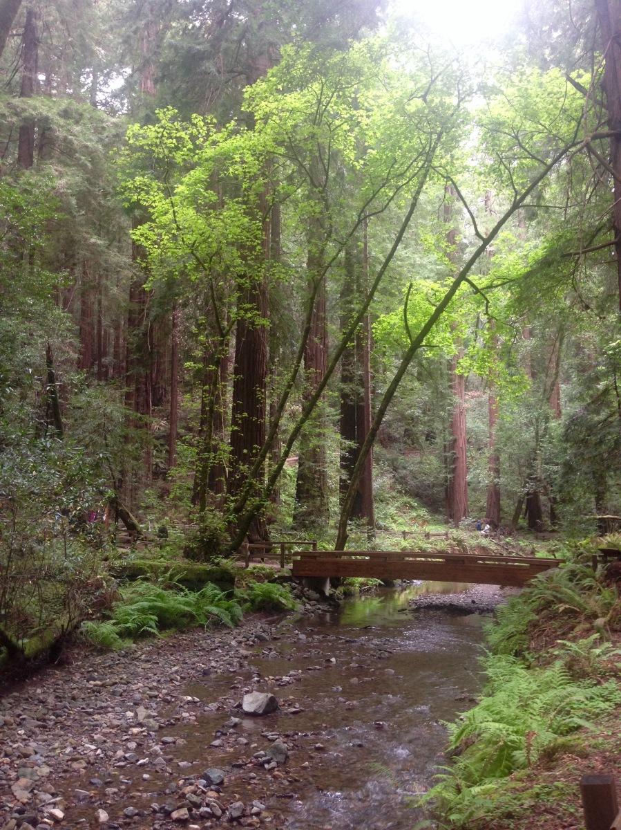 Sequoia sempervirens, Küstenmammutbaum, Mammutbaum, Riesenbaum, Redwoods, Nordkalifornien, Kalifornien, Nationalpark, Muir Wood