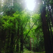 Sequoia, Redwoods, Mammutbäume, Riesenbäume, Nordkalifornien, Küstenmammutbäume, Wald, Muir Woods
