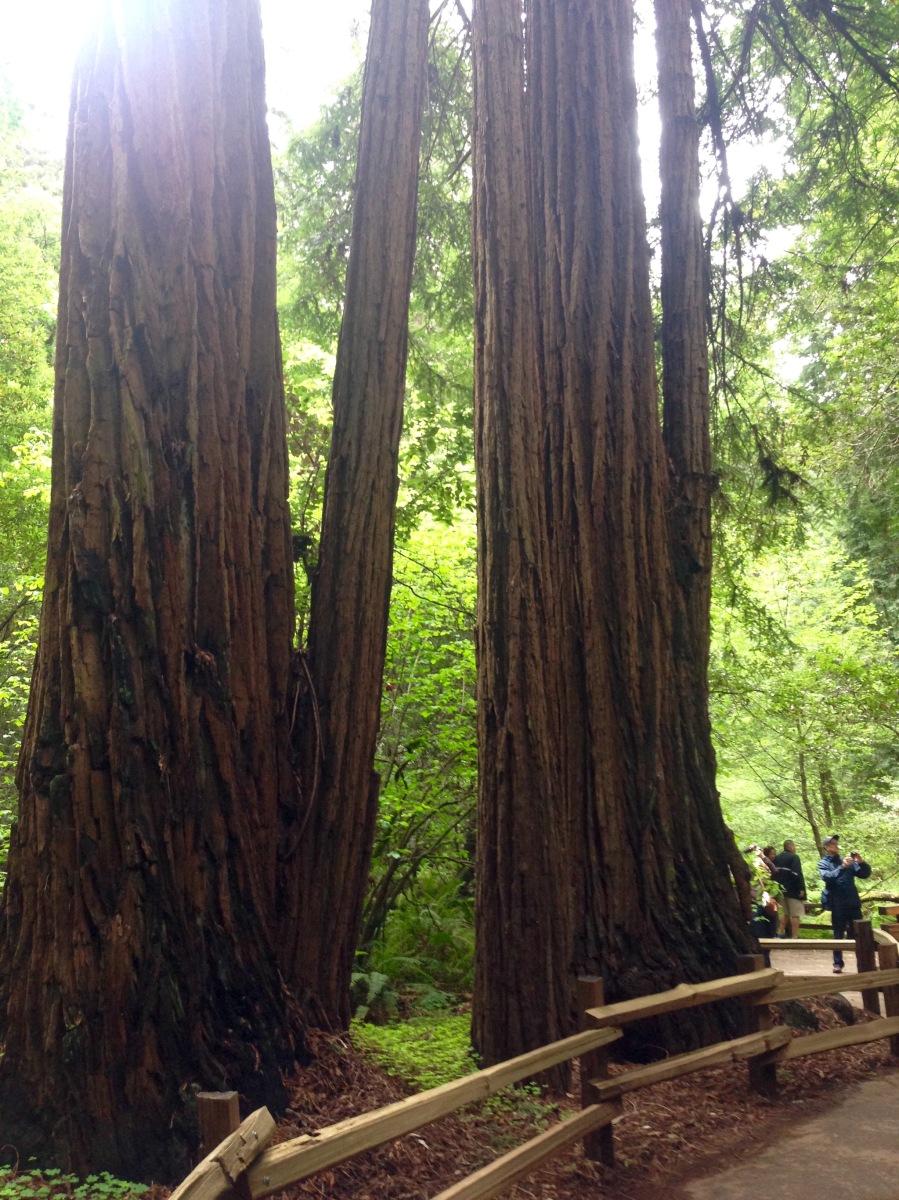 San Francisco, Sehenswürdigkeit, Ausflugsziel, Muir Woods, Riesenbäume, Mammutbäume, Sequoia