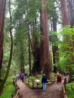 Attraktion, Sehenswürdigkeit, Ausflug, San Francisco, Muir Woods, Redwoods, Mammutbäume, Riesenbäume, hohe Bäume, Sequoia, Nordkalifornien