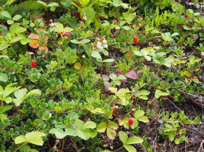 Olympic Sculpture Park, Seattle, Natur, Erdbeeren, Walderdbeeren, Botanik