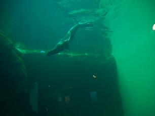 Attraktion, Seelöwe, Aquarium, Seattle, Wochenendtrip, Schlechtwetter, Besichtigung, Sightseeing, Ausflugsziel, Ausflug, was machen, unternehmen, besuchen