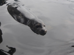Seeotter, Aquarium, Seattle, Wochenendtrip, Schlechtwetter, Besichtigung, Sightseeing, Ausflugsziel, Ausflug, was machen, unternehmen, besuchen, Attraktion, Seehund
