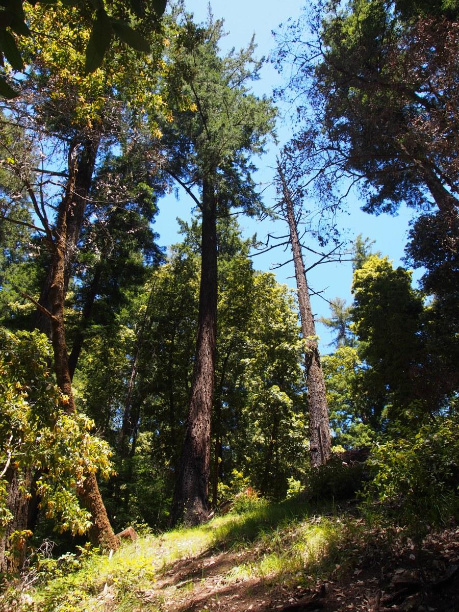 Big Basin, State Park, Redwoods, Redwood, Sequia, Riesenbäume, Mammutbäume, Riesenmammutbäume, Küstenmammutbäume, Ausflug, Ausflugsziel, Kalifornien, Nordkalifornien, San Francisco, Ausflugstipp, Wochenende, Wochenendtrip, Wochenendausflug, Wandern, Wanderung, Wanderausflug, Wald, Natur, Skyline to the sea trial, Trial, Hiking, Amerika, Wanderungen, Sehenswürdigkeit, Sehenswert,
