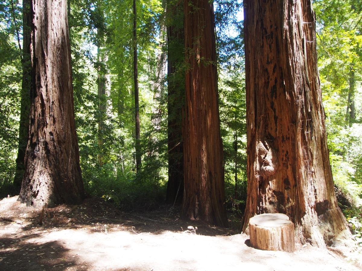Big Basin, Kalifornien, State Park, Nationalpark, California, Amerika, Ausflug, Ausflugsziel, Wanderung, Wochenendtrip, Wochenendausflug, Wandertrip, Tipps, Wanderung, Sehenswürdigkeit, Ausflugstipp, Wald, Natur, Riesenbäume, Mammutbäume, Sequia, Redwoods, Natur, Landschaft, Wanderung