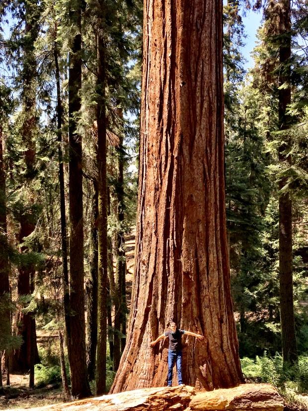 Wald, Riesenbaum, Riesenbäume, Mammutbäume, Riesenmammutbäume, Sequoia, Redwood, Sequoia Nationalpark, Sequoia und Kings Canyon Nationalpark, Nationalpark, USA, Amerika, Kalifornien, Wälder, Wandern, Wanderung, Touristenattraktion, Sehenswürdigkeit, Ausflug, Ausflugsziel, Wochenendtrip, Baumumfang,