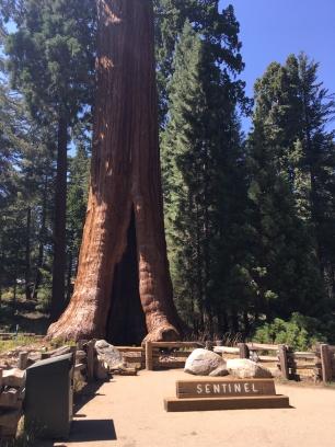 Kings Canyon, King Canyon, Wald, Riesenbaum, Riesenbäume, Mammutbäume, Riesenmammutbäume, Sequoia, Redwood, Sequoia Nationalpark, Sequoia und Kings Canyon Nationalpark, Nationalpark, USA, Amerika, Kalifornien, Wälder, Wandern, Wanderung, Touristenattraktion, Sehenswürdigkeit, Ausflug, Ausflugsziel, Wochenendtrip, Moro Rock, Bergsteigen, klettern, Sierra Nevada, the Sentinel