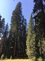 Wald, Riesenbaum, Riesenbäume, Mammutbäume, Riesenmammutbäume, Sequoia, Redwood, Sequoia Nationalpark, Sequoia und Kings Canyon Nationalpark, Nationalpark, USA, Amerika, Kalifornien, Wälder, Wandern, Wanderung, Touristenattraktion, Sehenswürdigkeit, Ausflug, Ausflugsziel, Wochenendtrip