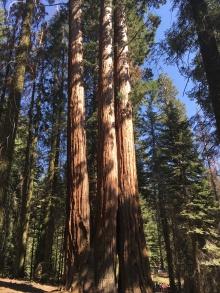Baum, Bäume, Wälder, Wald, Riesenbaum, Riesenbäume, Mammutbäume, Riesenmammutbäume, Sequoia, Redwood, Sequoia Nationalpark, Sequoia und Kings Canyon Nationalpark, Nationalpark, USA, Amerika, Kalifornien, Wälder, Wandern, Wanderung, Touristenattraktion, Sehenswürdigkeit, Ausflug, Ausflugsziel, Wochenendtrip