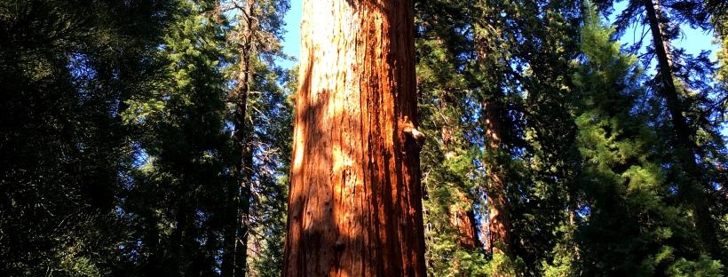 der gr te baum der welt general sherman sequoia nationalpark far away for 2 please. Black Bedroom Furniture Sets. Home Design Ideas