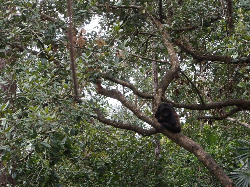 Affe, Belize, Natur, Tiere, Tierwelt, Dschungel, Lebewesen, Zentralamerika, Einstieger, Einsteigerland, Lateinamerika, Anfänger