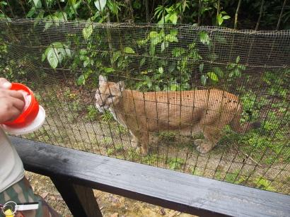 Carlos, Belize Zoo, Belize City, Belize, Sehenswürdigkeit, Raubkatze, Mountain Lion, Puma, Sehenswürdigkeit, Dschungel, Tierwelt