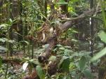Bengal Katze, Zoo, Belize, Wildkatze