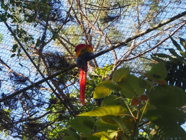 Ara, Belize Zoo, Belize, Belize City, Sehenswert, Sehenswürdigkeit, Kulturell, Natur, Tierwelt, Tourist, Reise, reisen