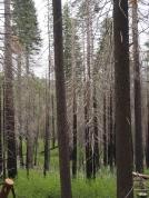 Waldbrandschäden, Yosemite